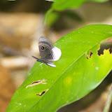 Riodinidae : Mesosemia nyctea nyctea HOFFMANNSEGG, 1818 (?). Sur la piste de la Roche-bateau, Saül (Guyane). 1er décembre 2011. Photo : J.-M. Gayman