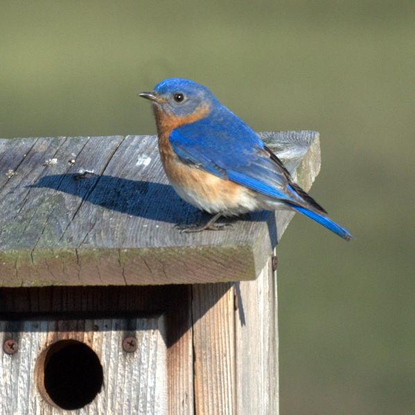 Male bluebird at nest box