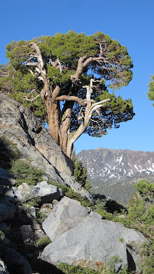 A heroic tree.©http://backpackthesierra.com