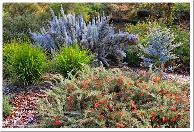 161127_UCDA_Maireana-sedifolia- -Lomandra-hystrix- -Eucalyptus-cordata_001
