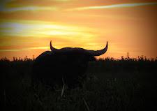 Big buffalo bull at sunset, Australia Wide Safaris, Carmor Plains, NT