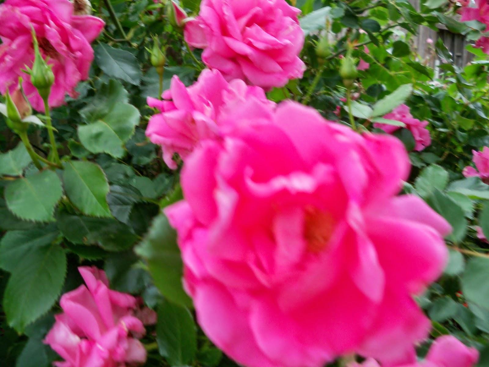 Gardening 2014 - 116_1496.JPG