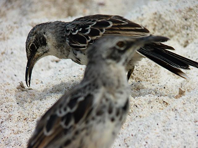 Hood mockingbirds