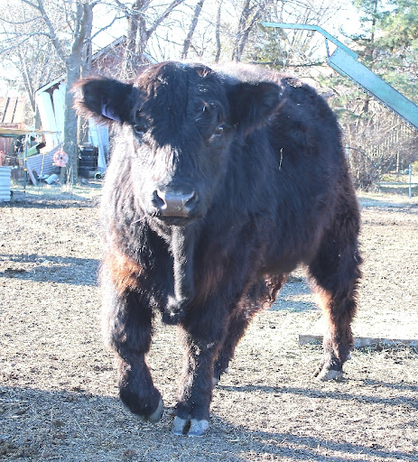1X Black Galloway bull, dob 6/6/10 photo 2/22/12