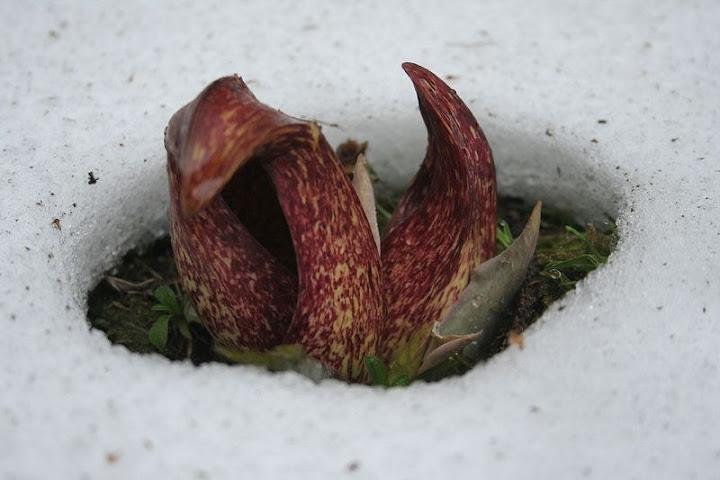 Repolho de gambá, a planta de sangue quente