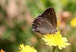Egesommerfugl, Satyrium ilicis.jpg