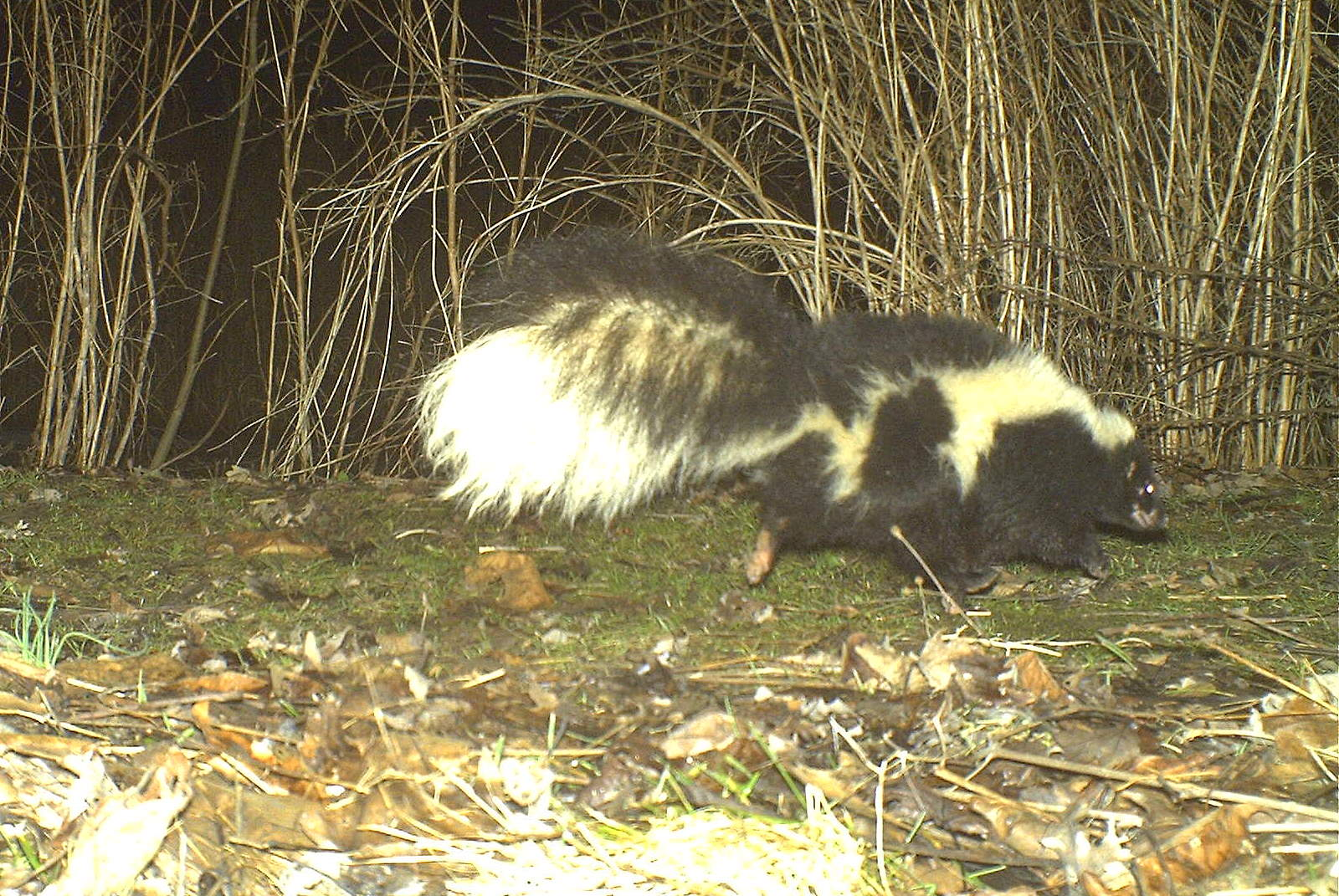 Striped Skunk (Seneca Falls, NY 3/11)