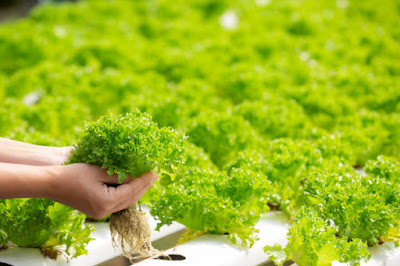 Pilih Mana Sistem DFT atau NFT dalam Berkebun Secara Hidroponik