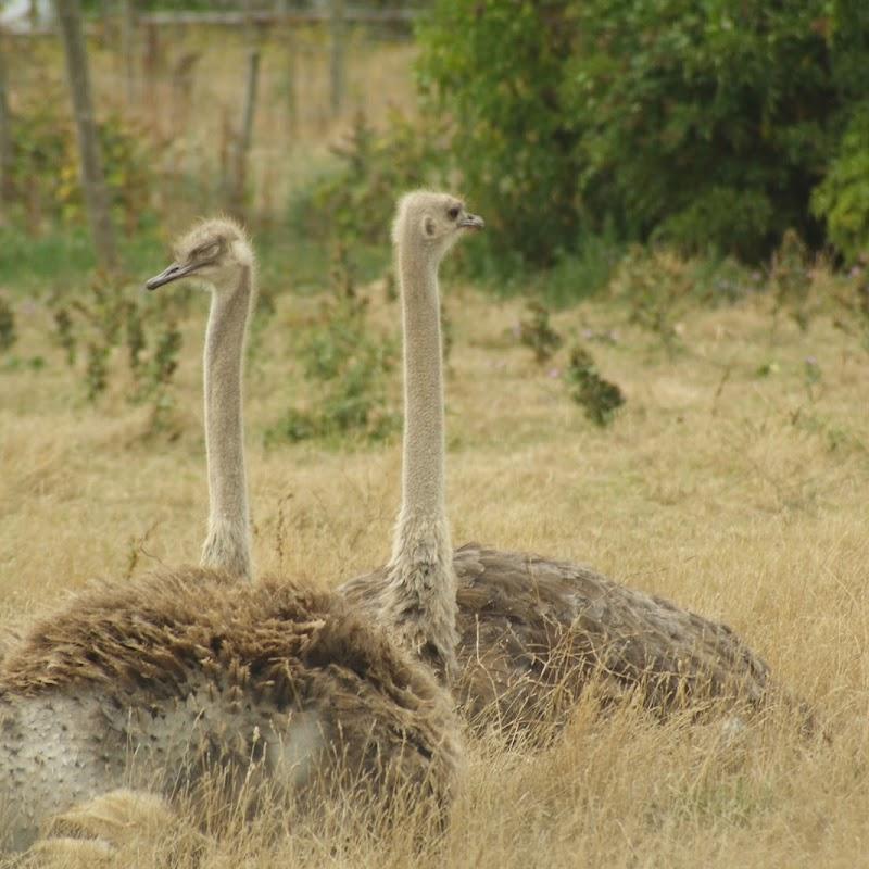 Ostrich_17.jpg