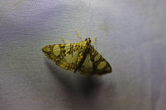 Crambidae : Glyphodes sibillalis Walker, 1859. Santa María en Boyacá, 1120 m (Boyacá, Colombie), 2 novembre 2015. Photo : J.-M. Gayman