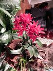 L. Cattleya rojo