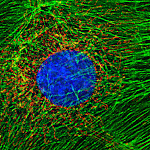 An enlarged portion of a deconvolved image of bovine pulmonary artery endothelial cell stained for actin (green), mitochondria (red) and DNA (blue). DV I. Imaged by Kandasamy, BMC.