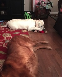 Labrador Retriever loafed out with Golden Retriever