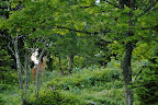 ECRIN DE VERDURE   Chevrette au printemps dans un bois d'altitude