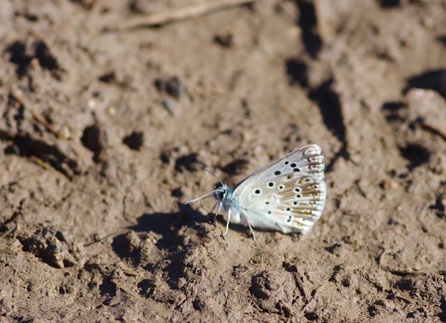 Polyommatus coridon coridon (PODA, 1761). Villeneuve, 1000 m (Causse Méjean, Lozère), 10 août 2013. Photo : J.-M. Gayman