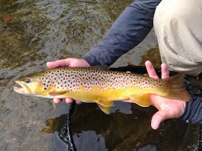 Photo: Mad River Outfitters offers guide trips for Brown Trout in Ohio on both the Mad River and the Clearfork River