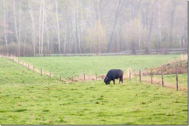 Býk na pastvině u Hlincovy Hory