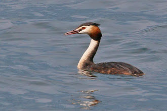 Photo: Great Crested Grebe