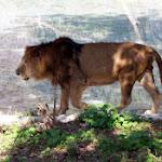 chattbir zoo lion2.jpg