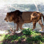 chattbir zoo lion2.jpg