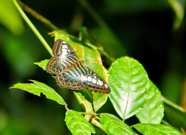 Parthenos sylvia borneensis Staudinger, 1889. Sepilok, Sabah (Malaisie), 12 août 2014. Photo : T. Boucher