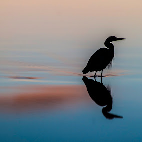 Afternoon heron by Doug Clement - Animals Birds ( bird, lagoon, sunset, victoria, still, fishing, heron, silhouette,  )
