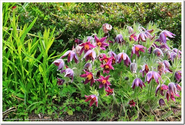 160410_Victoria_AbkhaziGarden_0050_Pulsatilla-vulgaris