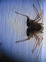 """A """"tailless whip-scorpion"""" - exactly like it looks, some weird species in-between spiders and scorpions. We found it in our house one night."""