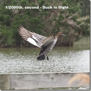 Fast speed flying duck -> sharp