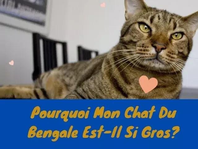 Pourquoi Mon Chat Du Bengal Est-Il Si Gros?