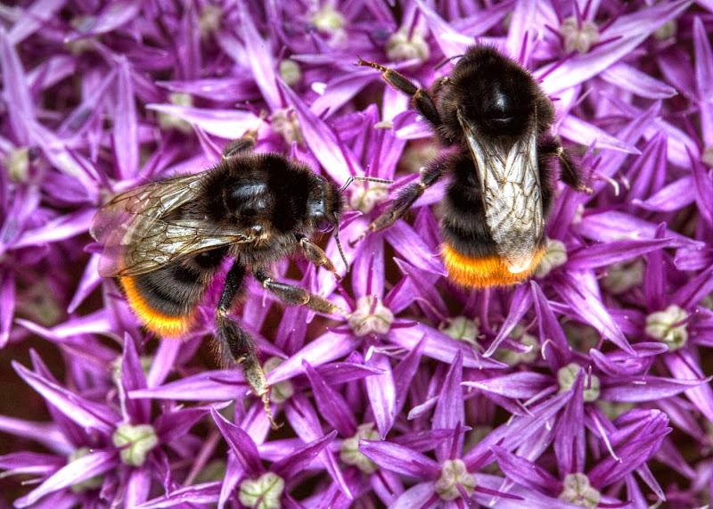 Bees on Alium - Brian R