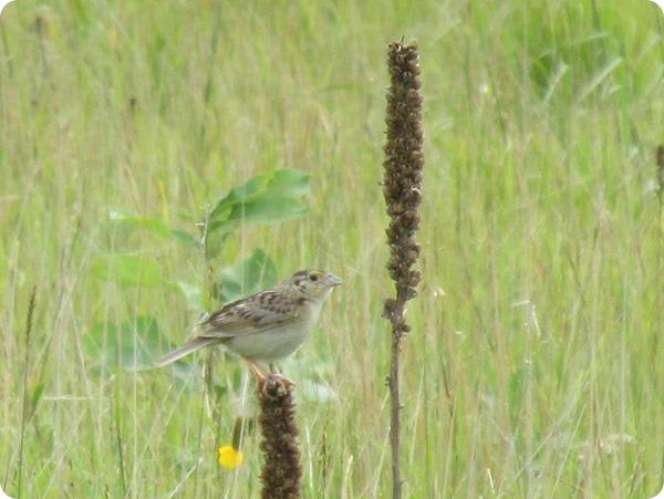 IMG_7629 Grasshopper Sparrow Bird