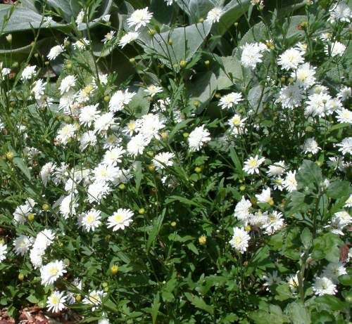 double flowering daisy