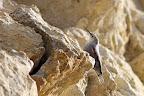 FIER COMME UN I   Tichodrome échelette sur une falaise jurassienne