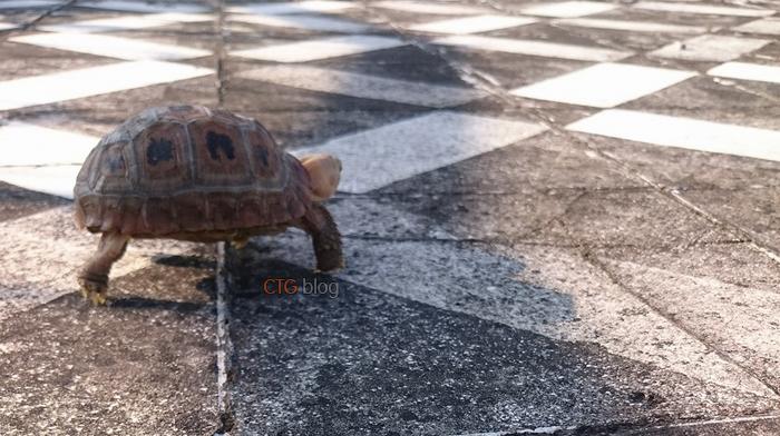 Hướng dẫn sổ giun cho rùa Núi vàng