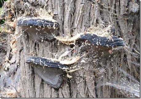 4 bracket fungi