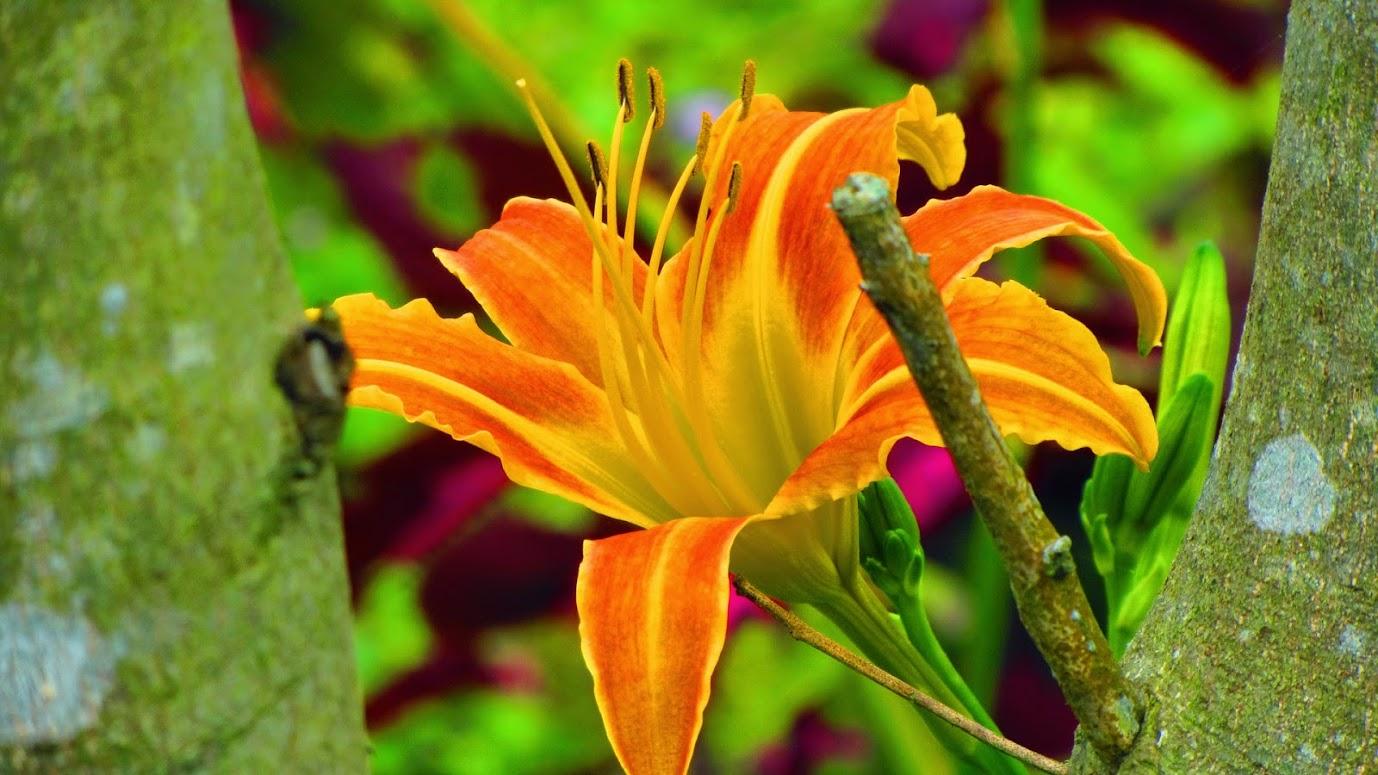 เล่าสู่กันฟัง.. ดอกเดย์ลิลลี่ก็คือดอกไม้จีน | บ้านสวนพอเพียง