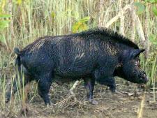 wildlife-wild-boar-6.jpg