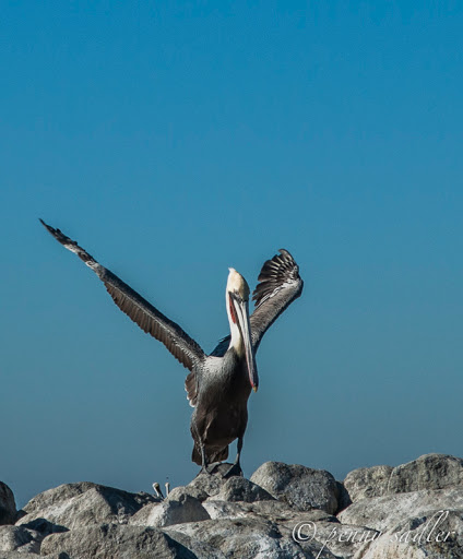 Pelican stretching! From Sea Otters, Sea Lions, and California Seals, Oh My!