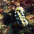 Nudibranch (Pemuteran, North Bali)