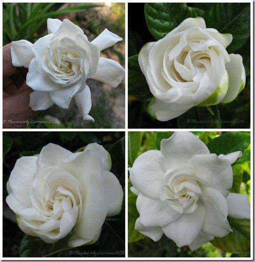05-17-gardenia-collage