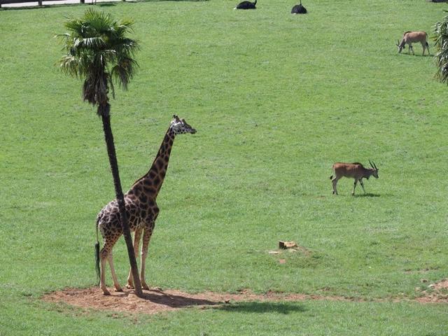cabarceno.cantabria.jirafas.blog.viajes