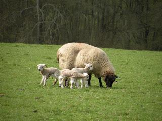 Овца и три ягненка