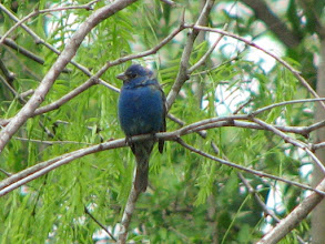 Photo: Indigo Bunting molting into breeding plumage.