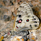 Parnassius (Kailasius) davydovi CHURKIN, 2006, femelle. Moldo Tau, Kyrgyzistan, juillet 2009. Photo : V. Pletnev