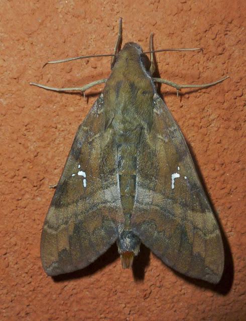 Macroglossinae : Nephele densoi (KEFERSTEIN, 1870). Mananara Lodge, Anjozorobe (Madagascar), 5 janvier 2014. Photo : T. Laugier