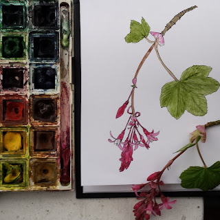 Flowering Currant illustration by Alice Draws The Line