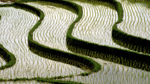 Rice Fields, Bali, Indonesia.jpg