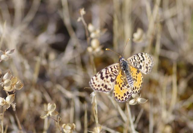 Melitaea didyma meridionalis Staudinger, 1870, femelle. Les Hautes-Courennes, Saint-Martin-de-Castillon (Vaucluse), 14 juin 2015. Photo : J.-M. Gayman