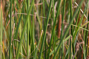 Reeds and grasses, Alviso Slough